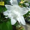 香りのする夜咲きギボウシ「玉の簪」