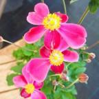 美しい秋の花「秋明菊」はいかがですか?