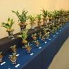 いよいよ今週末から伝統園芸植物展 開催!!