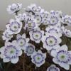 早春を彩る雪割草大集合!