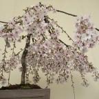 周年祭2割引きセール&桜と山野草展開催です!