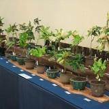 伝統園芸植物展