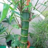 新入荷した竹 「かぐや竹(ちく)」
