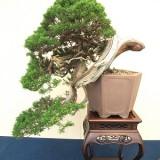 日本盆栽協会 新潟支部展